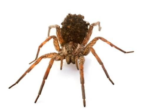 7 Home Remedies to Treat Wolf Spider Bite | Daily Health Cures